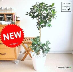 ゴムの木 NEW!! フランスゴム 白セラアート鉢に植えたゴムの木 フィカス・ルビキノーサ ゴム フランスゴムの木 ゴムノキ