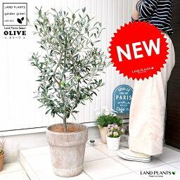 観葉植物 オリーブ 人気ブランドランキング ベストプレゼント