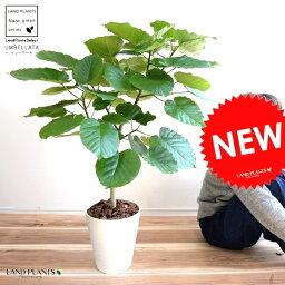 ウンベラータ ウンベラータ 8号(白色) セラアート鉢 (自然樹形) 鉢植え 大型 観葉植物 【ギフト配送可】8号鉢 送料無料 割れない