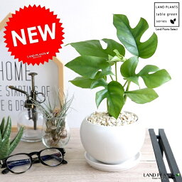 モンステラ ヒメモンステラ 白色 丸形 陶器鉢(黄色小石) 鉢植え苗 苗木 ミニモンステラ 観葉植物 白 丸 ホワイト 送料無料