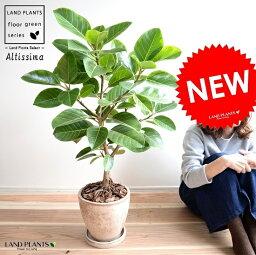 ゴムの木 アルテシーマ (自然樹形) 茶色 エッグ型 ラウンド 陶器鉢 8号 鉢植え 大型 斑入り ゴム ゴムの木 葉模様 茶 ブラウン 砂色 ベージュ 丸 観葉植物 送料無料