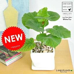 ウンベラータ new!! フィカス・ウンベラータ 質感の良い白色 台形陶器鉢に植えた 可愛い卓上 ウンベラータ ウランベータ  ゴムの木【母の日ギフト】