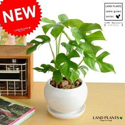 モンステラ NEW!! ヒメモンステラ 白色丸型陶器鉢に植えた 葉の形がとっても かわいい ミニモンステラ アダンソニー・ペルツ-サ・ラフィドホラ・テトラスペルマ  サトイモカズラ属 姫モンステラ ホウライショウ属 デリシオサ デリシオーサ