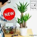 ドラセナ 青年の木 ドラセナ(ユッカ) 白色 中型ラウンド 陶器鉢 リュウゼツラン ドラセナユッカ 敬老の日 ポイント消化 観葉植物