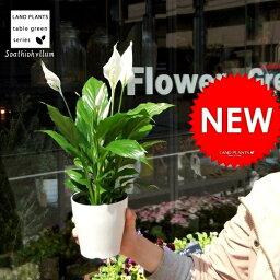 スパティフィラム 【元気な苗が再入荷!】【お試しサイズ】 スパティフィラム 白の美しい花を咲かせる観葉植物 table green series Spathiphyllum 敬老の日 ポイント消化 観葉植物