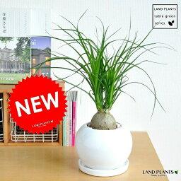 ポニーテール new!! トックリラン(ノリナ) 白色丸型陶器鉢に植えた 幹の太い ポニーテール 子ぶたのしっぽ 敬老の日 ポイント消化 観葉植物