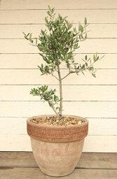 オリーブ 【アンティーク調テラコッタ植えのオリーブ  品種は店長におまかせで!】【6】【庭木】【ギフト】【シンボルツリー】