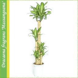 ドラセナ お値打ち♪プラ鉢≪幸福の木≫大型10号ドラセナ マッサンゲアーナ(鉢カバーなし)