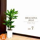 ドラセナ ドラセナ ジェレ 7号 (鉢カバーなし)観葉植物 中型 おしゃれ インテリア ギフト 祝い 開店 誕生日 新築 プレゼント ラッピング
