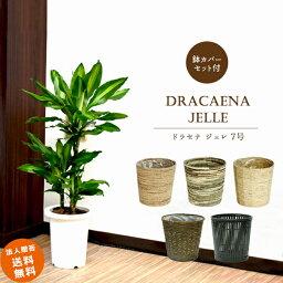 ドラセナ ドラセナ ジェレ 7号 (選べる鉢カバー付き A・B・C・D・I)観葉植物 中型 おしゃれ インテリア ギフト 祝い 開店 誕生日 新築 プレゼント ラッピング