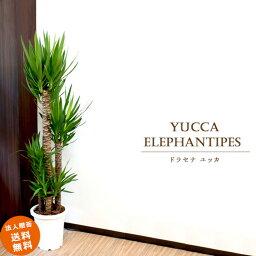 ドラセナ 【送料無料】大型10号 青年の木 ドラセナ ユッカ(鉢カバーなし)
