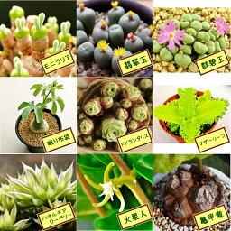 マザーリーフ 【多肉植物】 自分で選べる種子3点セットvol.2(モニラリア・翡翠玉・群碧玉・眠り布袋・ドドランタリス・マザーリーフ・火星人・亀甲竜)【送料無料】うさみみ 生きる宝石 多肉 観葉植物 Succulents Cactus 父の日 ラッピング
