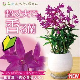 デンドロビウム 洋ラン『デンドロビウム キンギアナム 陶器鉢仕立て』鉢花小さな花が咲き乱れ、香りが部屋中に広がります超丈夫な性質で育てやすいので初心者さんにも♪胡蝶蘭ギフトに飽きた方に ご自宅、お誕生日にどうぞ♪