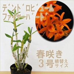 デンドロビウム 洋ランの苗『デンドロビューム ファイヤーバード【花咲く苗セット】』 国際園芸博フロリアード2002で最高金賞を受賞した日本生まれの名花をご紹介!育てやすいので初心者の方に!デンドロビウムの育て方 デンドロビューム 育て方