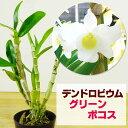 デンドロビウム 洋ランの苗『ミニデンドロ グリーンポコス【花咲く苗セット】』 無霜地帯では屋外で越冬できるほど丈夫な日本生まれの品種デンドロビューム デンドロビウムデンドロビウムの育て方 デンドロビューム 育て方