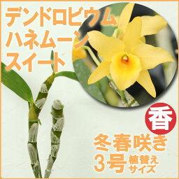 デンドロビウム 香る洋ラン『デンドロビウム ハネムーンスイート【花咲く苗セット】』 甘〜い素敵な香り♪育て方の説明書付き 洋蘭苗栽培キット