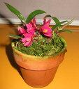 デンドロビウム Den.laevifoliumデンドロビウム属ラエビフォリウム
