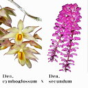 デンドロビウム Den.cymboglossumXDen.secundumデンドロビウム属シンボグロッサムxセクンダム