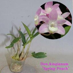 デンドロビウム Den.kingianum 'Spring Peach' デンドロビウム属キンギアナム'スプリング ピーチ'
