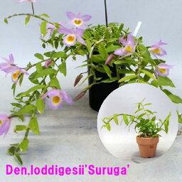 デンドロビウム Den.loddigesii'Suruga' デンドロビウム属ロディゲシー'スルガ'