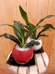 長寿草のオモト ちびっ子で可愛いサイズの万年青(オモト)有田♪和のオシャレインテリア陶器鉢♪鉢カラーをお選びください♪スタイリッシュな観葉植物♪お祝い事に♪引越し祝いなどに♪【楽ギフ_包装】【楽ギフ_メッセ入力】『One'sオリジナル 植え替え済み 鉢』