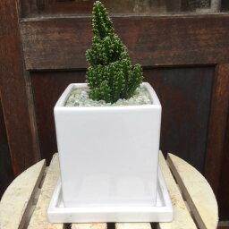 サボテン セレウス電磁波吸収サボテン(セレウスベルヴィアヌス )ミニ観葉植物サイズ♪インテリア陶器鉢 受け皿付きモダン風アジアンテイスト♪お祝い・誕生日やプレゼントに♪『One'sオリジナル作成 植え替え済み』