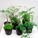 アジアンタム ■観葉植物■ミニ観葉お好み5個セット