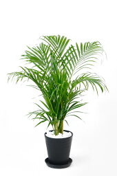 ヤシ 観葉植物 アレカヤシ セラアート鉢 6号鉢 大型 インテリア 開店祝い お祝い 新築祝い ブラック ホワイト セラート鉢