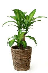 ドラセナ 観葉植物 幸福の木 6号鉢 選べる4色の鉢カバー付 送料無料 インテリア アジアン 引越し祝い 開店祝い 新築祝い お祝い ドラセナ 父の日