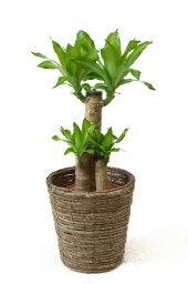 ドラセナ 幸福の木 観葉植物 幸福の木 6号鉢 選べる4色の鉢カバー付 インテリア アジアン 引越し祝い 開店祝い 新築祝い お祝い 観葉植物