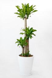 ドラセナ 幸福の木 10号 陶器カバー付 (ファイバークレイ) 大型 観葉植物 幸福の木 インテリア 引越し祝い 開店祝い 新築祝い お祝い 観葉植物 ドラセナ 父の日