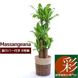 ドラセナ 幸福の木 8号鉢 * 鉢カバー付セット 観葉植物 ドラセナ特集