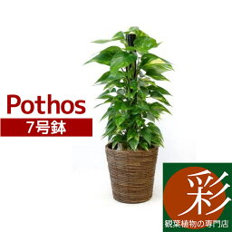 ポトス 観葉植物 ポトス 7号鉢(ヘゴ仕立) インテリア 開店祝い 新築祝い お祝い 誕生日