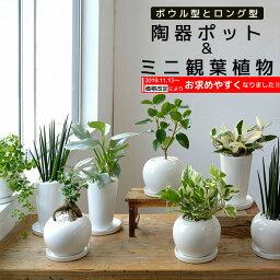 エバーフレッシュ 8種類から選べる ミニ 観葉植物 白陶器のボウルポットとロングポット ガジュマル ポトス エバーフレッシュ ソテツ