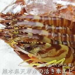 車エビ 天草産 活き車エビ 300g(12-15尾)熊本県 (冷蔵便もしくは常温便)