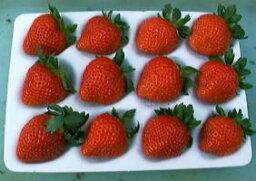 いちご デザート!ケーキに!宝石の輝き、霞ヶ浦の甘味と酸味の絶妙なバランス、有機肥料栽培【新種いちご】やよいひめ 12個入り2パック【発送 12月上旬 〜 4月下旬】(特別なパッケージで大切にお届けします)05P07Feb16
