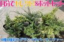 コニファー 【送料無料】グランドカバーコニファー「自分で選べる8ポットセット」ポット直径15cm