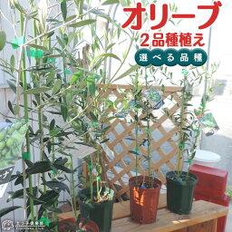 オリーブ オリーブ 2品種植え ( 2年生 )5号スリット鉢