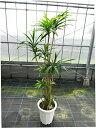 ドラセナ 美しい樹形のアオ・ドラセナ/170cm前後【10号プラ鉢】