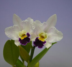 カトレア レリオカトレア ホワイトシンデレラ 'プリンセスアイコ'Lc.White Cinderela 'Princess Aiko'【花なし株】【葉に一部が黒くなっています】