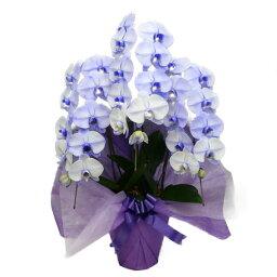 3本 胡蝶蘭 大輪 パープルエレガンス 紫 3本立ち