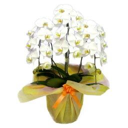 胡蝶蘭(全般) 胡蝶蘭 大輪 白 3本立ち 25輪以上