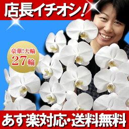 3本 胡蝶蘭 大輪 白 3本立ち 27輪【あす楽対応】