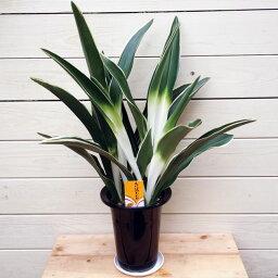 長寿草のオモト 観葉植物:オモト/万年青*おもと 品種選べます 5.5号
