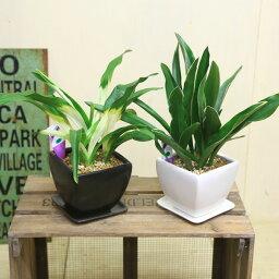 長寿草のオモト 観葉植物:オモト 万年青*4号 洋風モダン鉢 受皿付