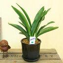 長寿草のオモト 観葉植物:オモト 万年青*ベターポットラウンドA 受け皿付 陶器鉢 おもと